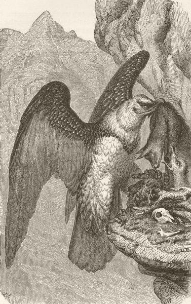 Associate Product BIRDS. Lammergeier and nest 1895 old antique vintage print picture