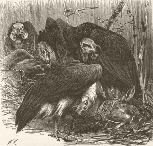 Associate Product INDIA. Puducherry vultures gorging 1895 old antique vintage print picture