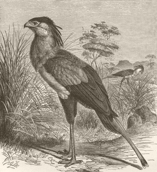 Associate Product BIRDS. Secretary-vulture 1895 old antique vintage print picture