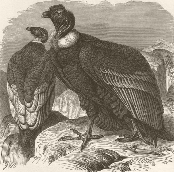 Associate Product BIRDS. Male and female condors 1895 old antique vintage print picture