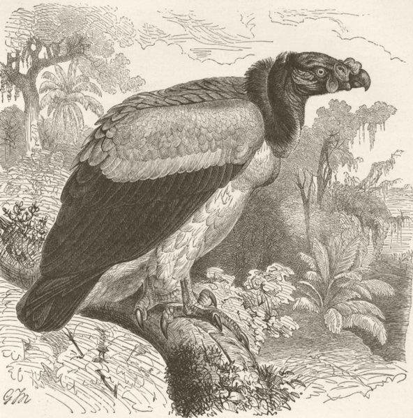 Associate Product BIRDS. King vulture 1895 old antique vintage print picture