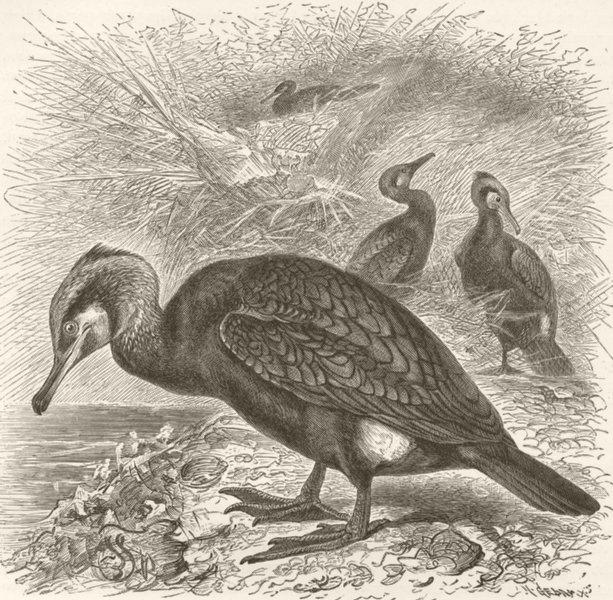 Associate Product BIRDS. Common Cormorant 1895 old antique vintage print picture