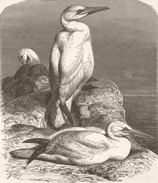 Associate Product BIRDS. Common gannet 1895 old antique vintage print picture