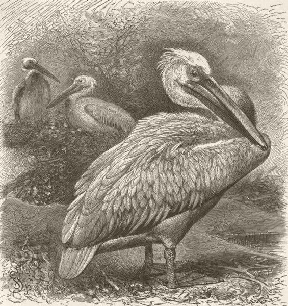 Associate Product BIRDS. European pelican 1895 old antique vintage print picture