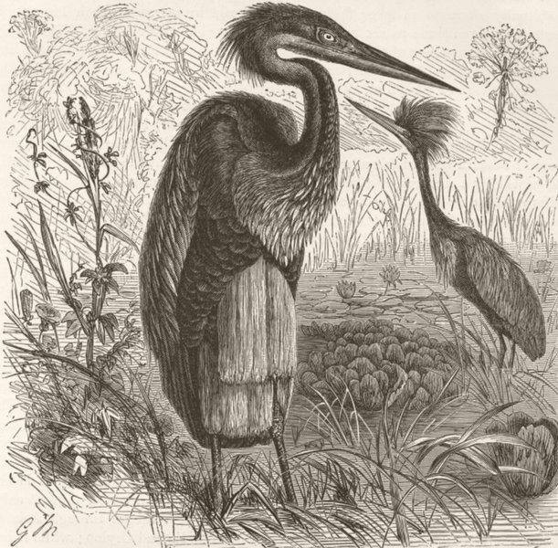 Associate Product BIRDS. Goliath heron in breeding plumage  1895 old antique print picture
