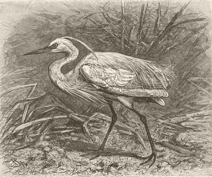 BIRDS. Little egret 1895 old antique vintage print picture