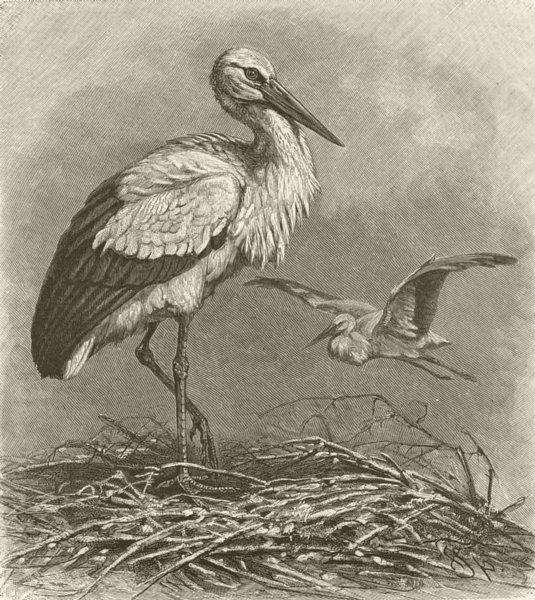 Associate Product BIRDS. White stork 1895 old antique vintage print picture