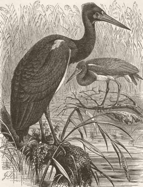 Associate Product BIRDS. White-bellied stork 1895 old antique vintage print picture