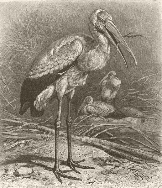 Associate Product BIRDS. West-African wood-stork 1895 old antique vintage print picture