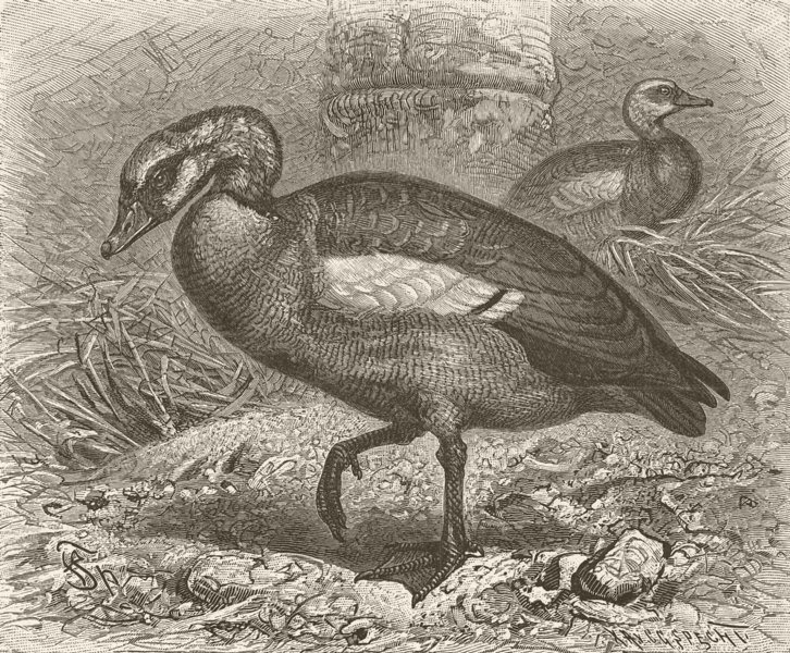 Associate Product BIRDS. Egyptian goose 1895 old antique vintage print picture