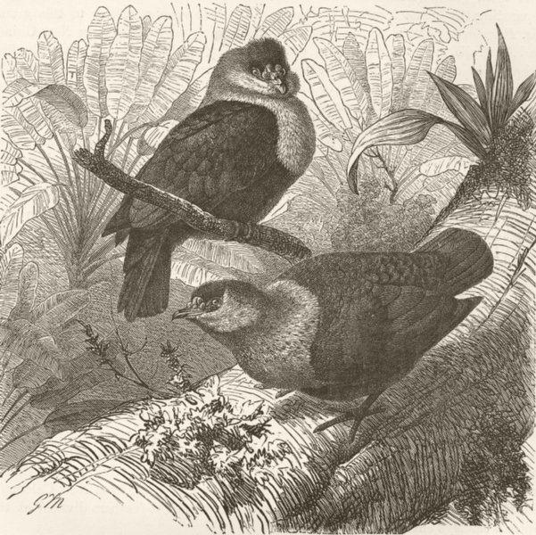 MADAGASCAR. Madagascar wart-pigeons 1895 old antique vintage print picture
