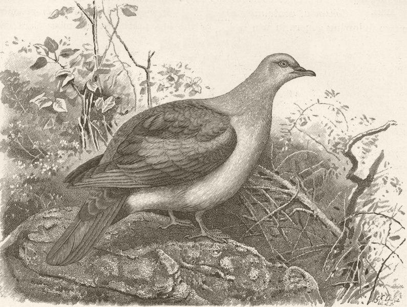 Associate Product BIRDS. Nutmeg-pigeon 1895 old antique vintage print picture
