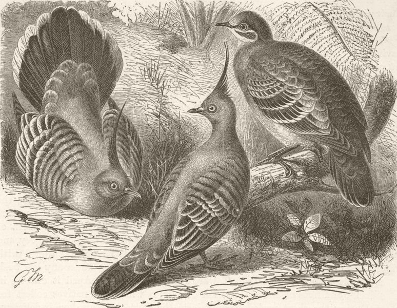 Associate Product BIRDS. Crested & common bronze-winged doves  1895 old antique print picture