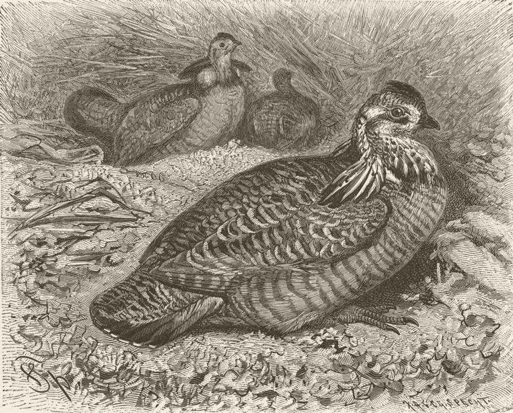 Associate Product BIRDS. Prairie-hens 1895 old antique vintage print picture