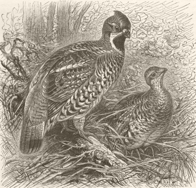 Associate Product GROUSE. Ruffed grouse 1895 old antique vintage print picture