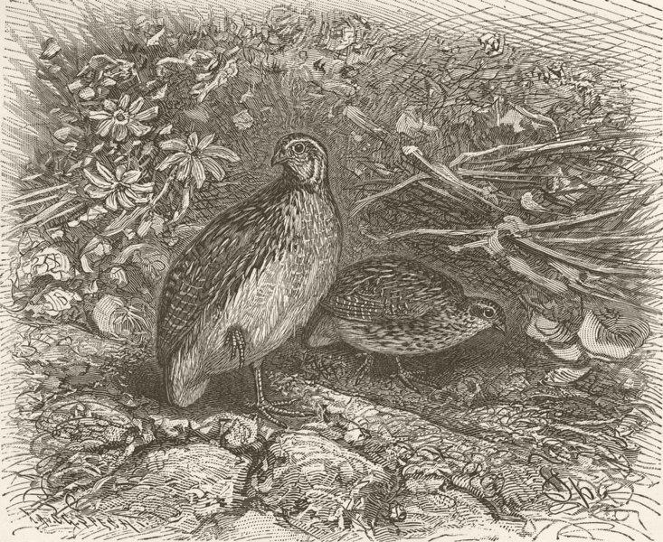 Associate Product BIRDS. Common quail 1895 old antique vintage print picture