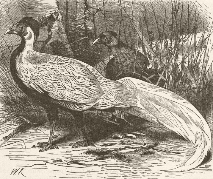 Associate Product BIRDS. Silver pheasant 1895 old antique vintage print picture