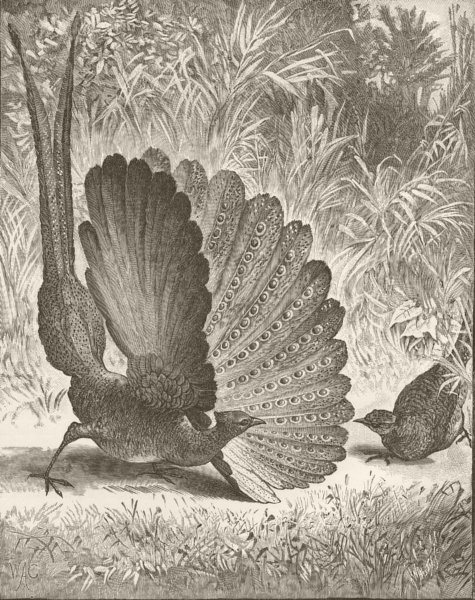 Associate Product BIRDS. Argus pheasant displaying 1895 old antique vintage print picture