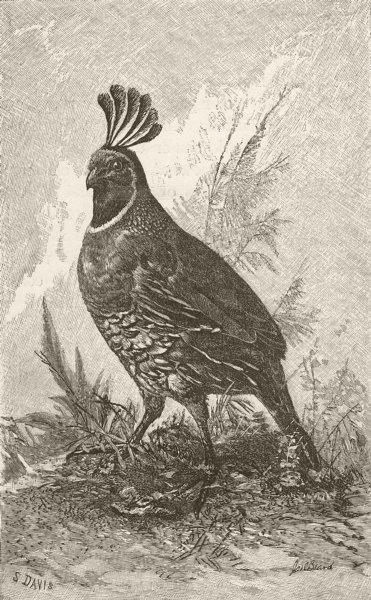 Associate Product BIRDS. Californian quail 1895 old antique vintage print picture