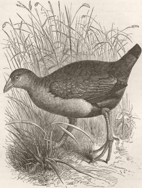 Associate Product BIRDS. Mortier water-hen 1895 old antique vintage print picture