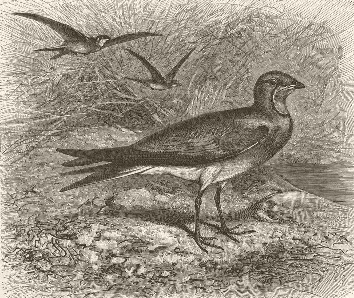Associate Product BIRDS. Common pratincole 1895 old antique vintage print picture