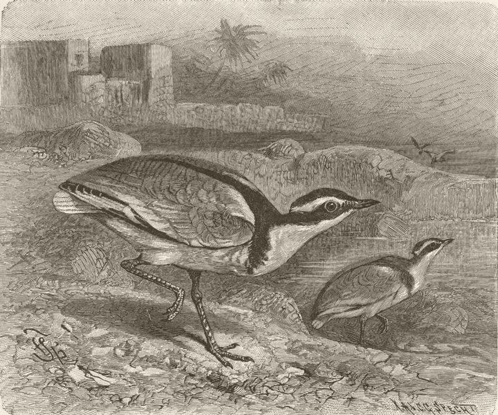 Associate Product BIRDS. Black-backed courser 1895 old antique vintage print picture
