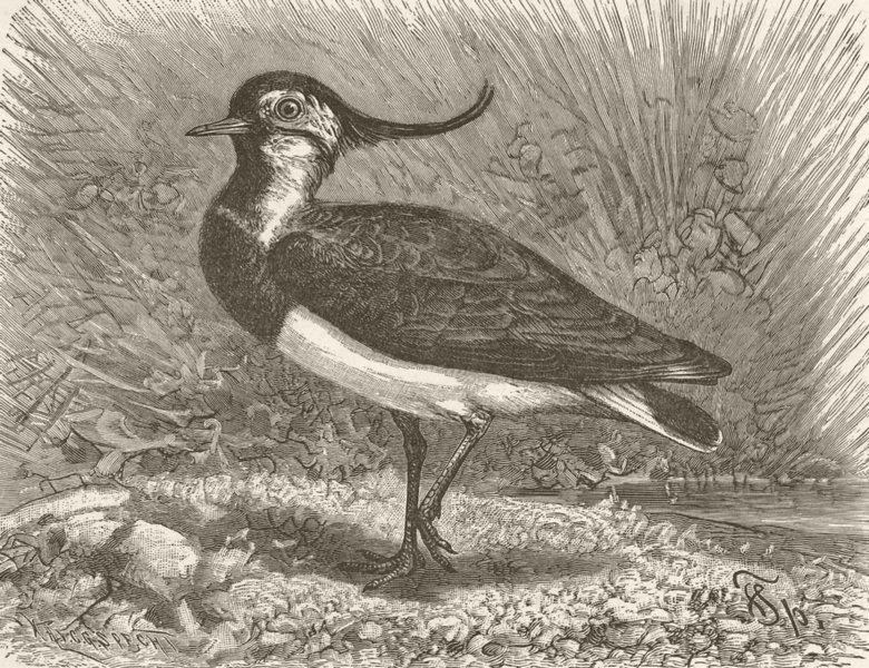 Associate Product BIRDS. Common lapwing 1895 old antique vintage print picture