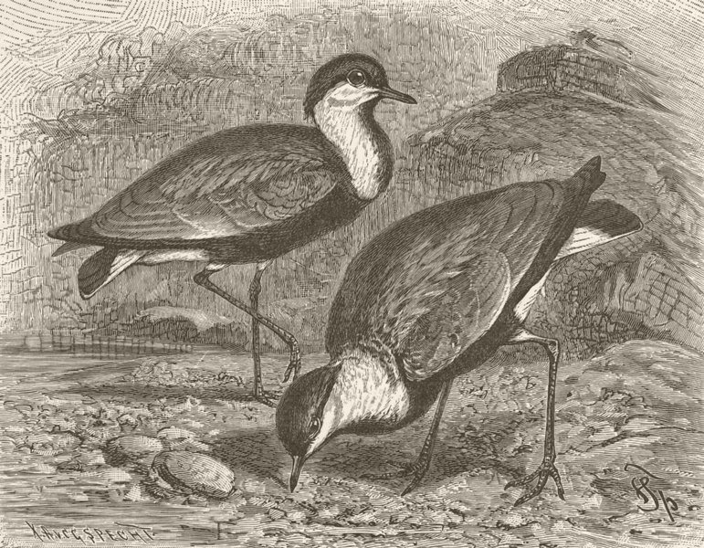 Associate Product BIRDS. Egyptian spur-winged lapwing 1895 old antique vintage print picture