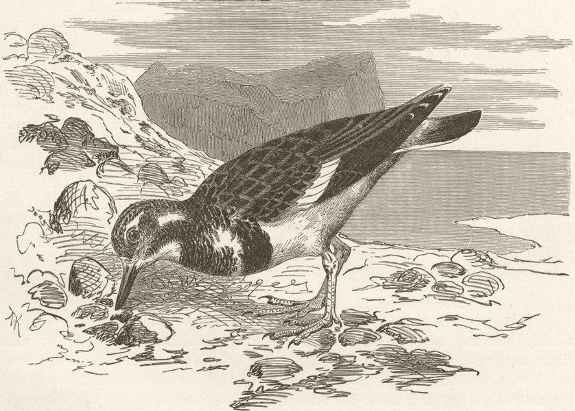 Associate Product BIRDS. Common turnstone 1895 old antique vintage print picture