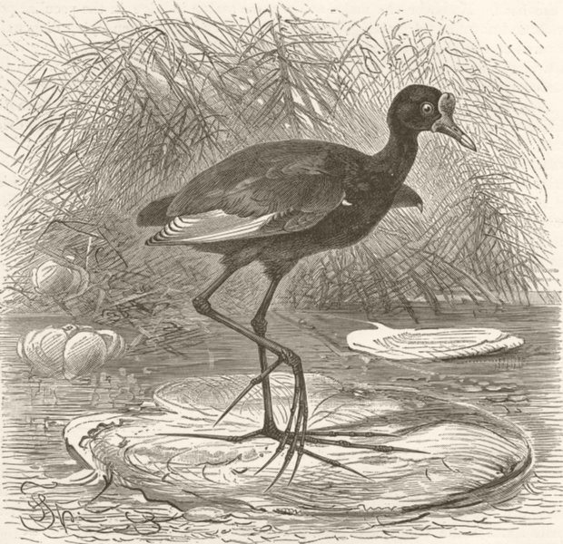 Associate Product BIRDS. Brazilian jacana 1895 old antique vintage print picture