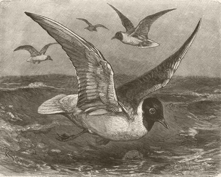 Associate Product BIRDS. Black-headed gull 1895 old antique vintage print picture