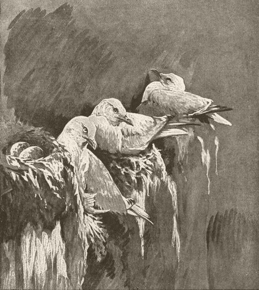 Associate Product BIRDS. Kittiwakes nesting 1895 old antique vintage print picture