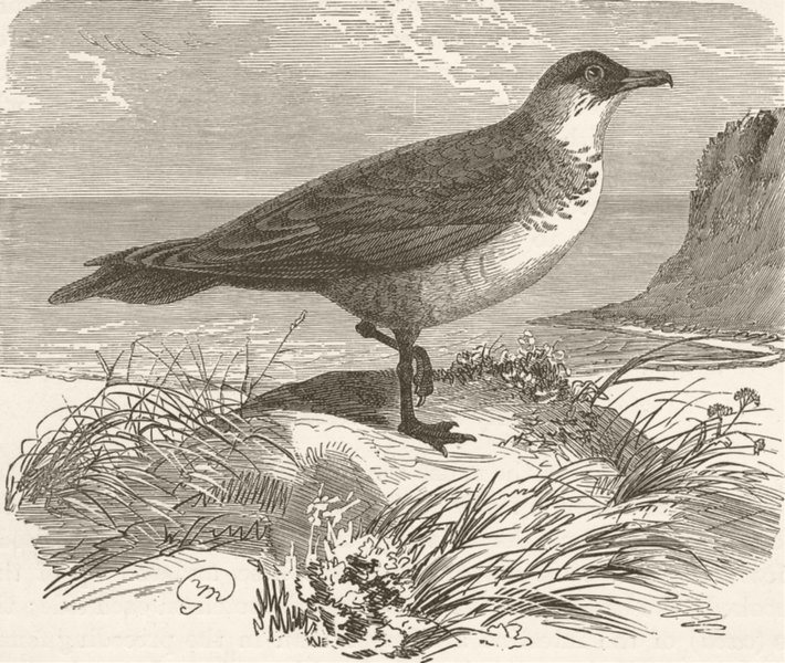 Associate Product BIRDS. Pomatorhine skua 1895 old antique vintage print picture