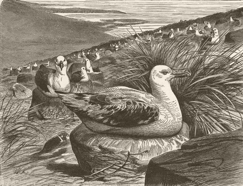 Associate Product BIRDS. Albatrosses nesting 1895 old antique vintage print picture