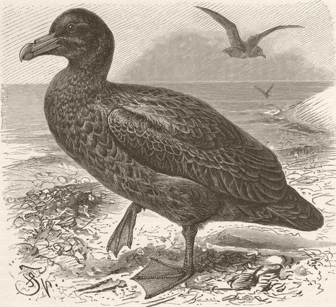 Associate Product BIRDS. The giant petrel 1895 old antique vintage print picture