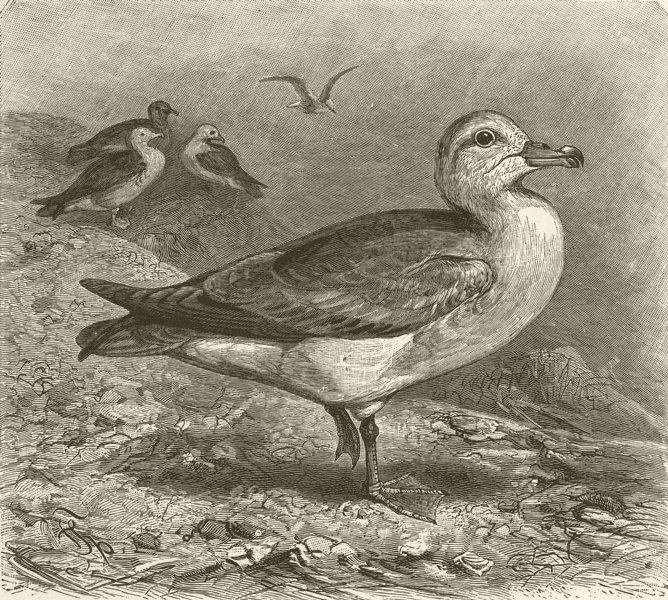 Associate Product BIRDS. Fulmar petrels 1895 old antique vintage print picture