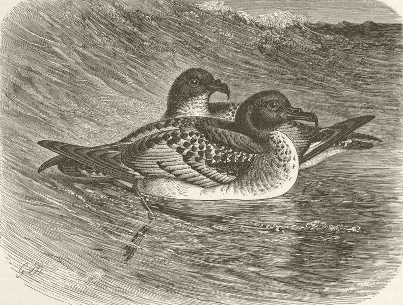 Associate Product BIRDS. Cape petrels swimming 1895 old antique vintage print picture