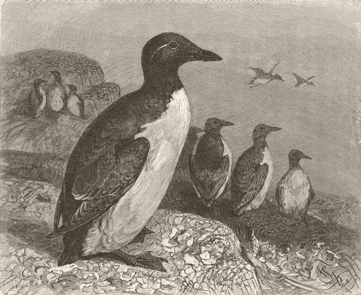 Associate Product BIRDS. Common guillemots 1895 old antique vintage print picture