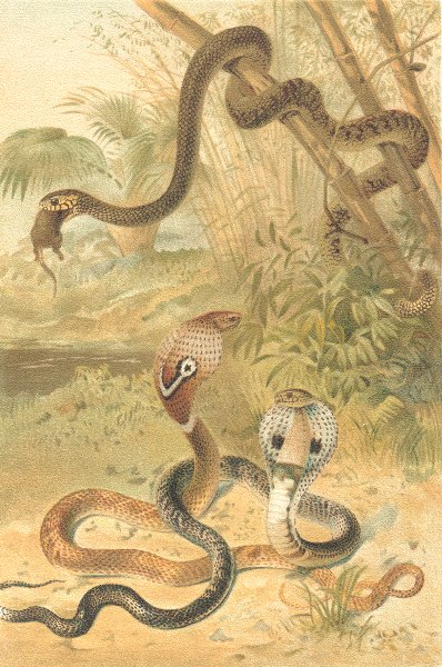 Associate Product ANIMALS. Rat-snake and cobras 1896 old antique vintage print picture
