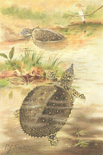 Associate Product TORTOISES. Soft river tortoises 1896 old antique vintage print picture