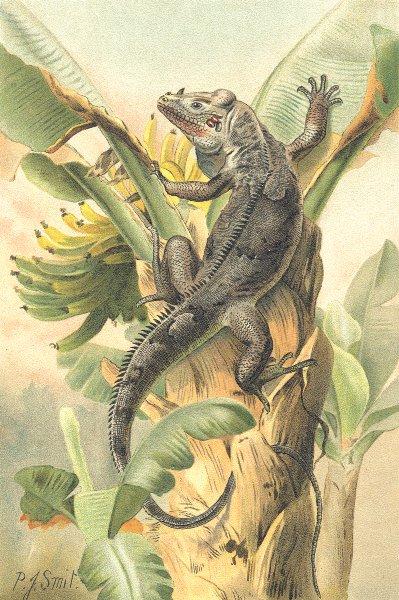 Associate Product REPTILES. The black iguana 1896 old antique vintage print picture