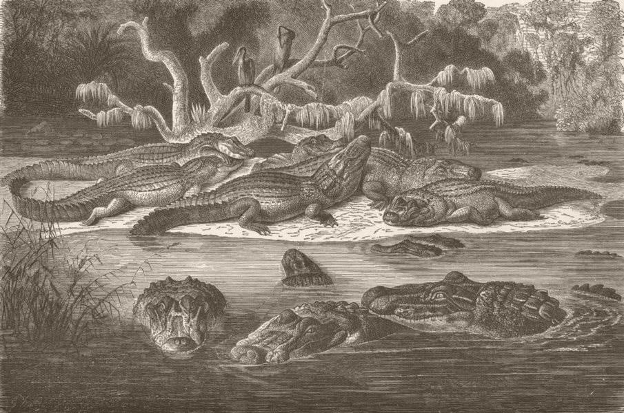 Associate Product CAIMANS. Black caimans at home 1896 old antique vintage print picture