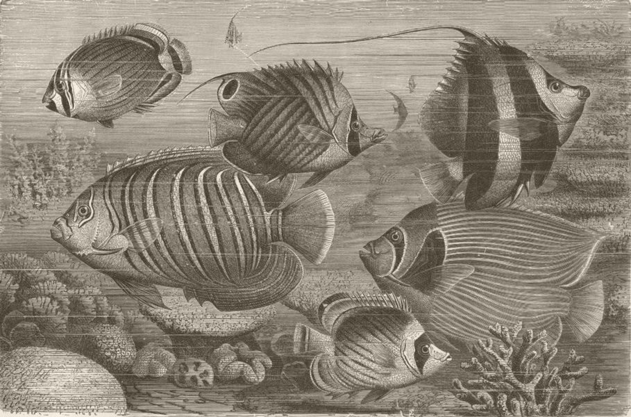 Associate Product FISH. Group of scaly-finned fisher 1896 old antique vintage print picture