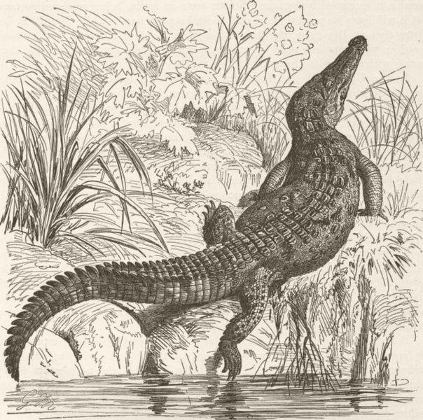 Associate Product CROCODILES. Sharp-nosed crocodile 1896 old antique vintage print picture