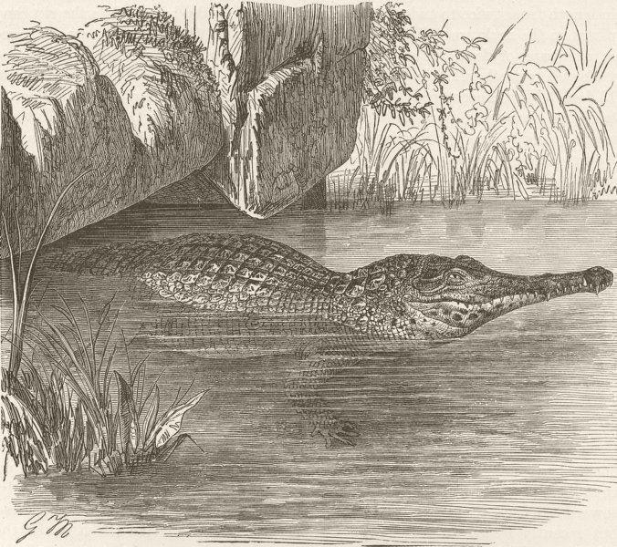 Associate Product CROCODILES. Long-nosed crocodile 1896 old antique vintage print picture