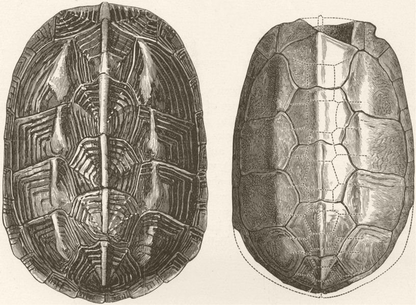 Associate Product CHAIBASSA TERRAPIN. Shell & fossil-no horny shields 1896 old antique print