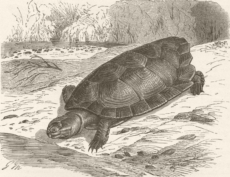 Associate Product TORTOISES. Giant Amazonian tortoise 1896 old antique vintage print picture