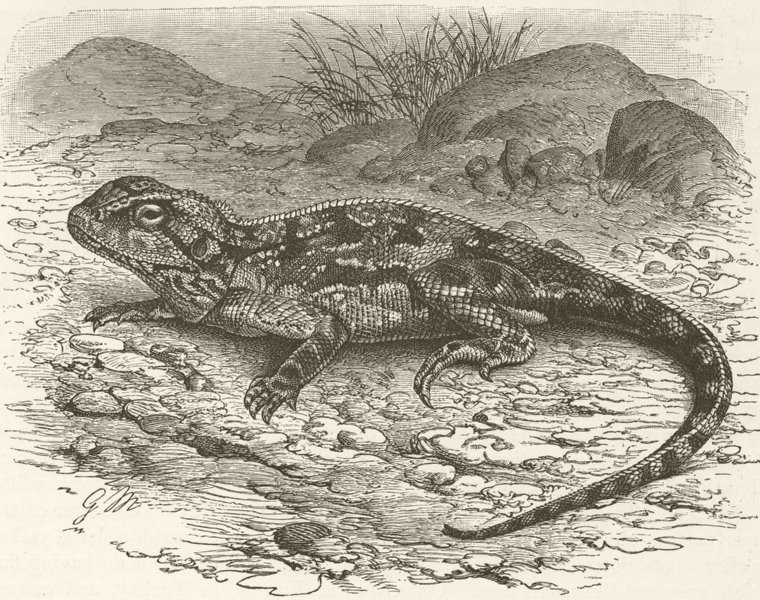 Associate Product REPTILES. Armed agama 1896 old antique vintage print picture