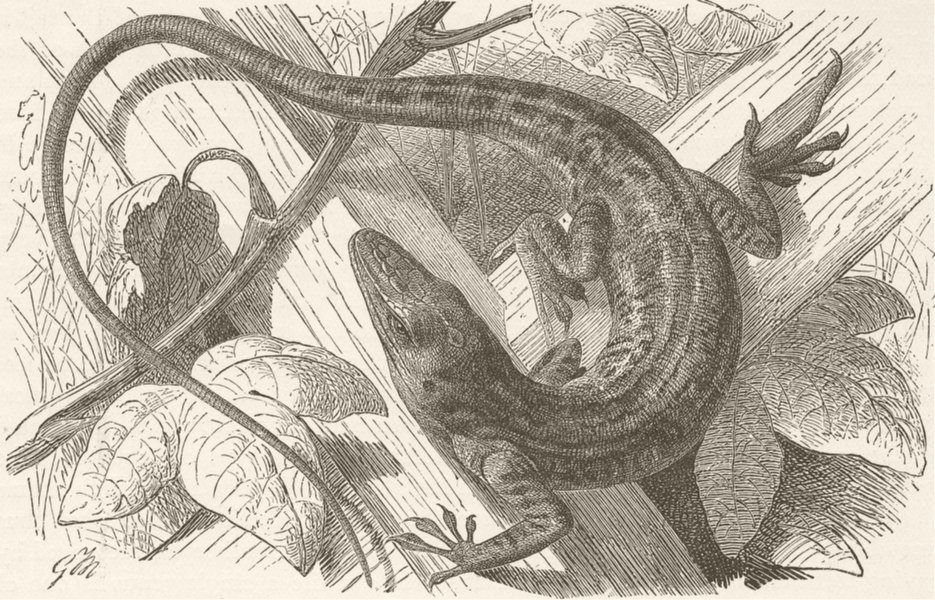 Associate Product REPTILES. Red-throated Anolis 1896 old antique vintage print picture