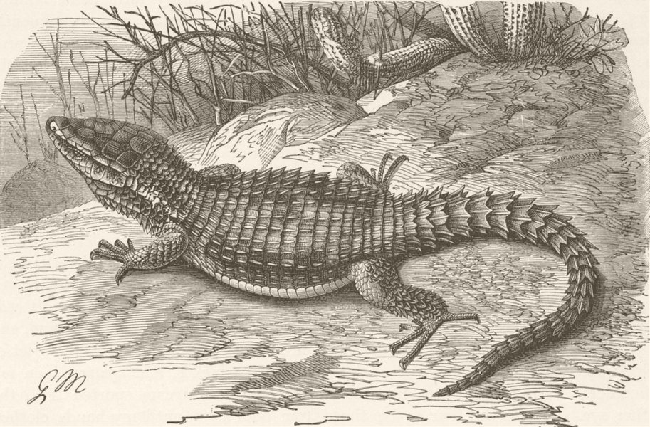 Associate Product REPTILES. Cape girdle-tailed lizard 1896 old antique vintage print picture